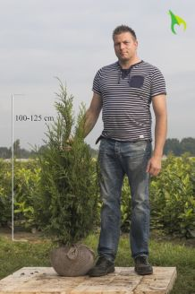 Lebensbaum 'Atrovirens' Wurzelballen 100-125 cm Wurzelballen