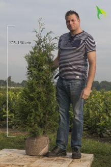 Lebensbaum 'Atrovirens' Wurzelballen 125-150 cm Extra Qualtität Wurzelballen