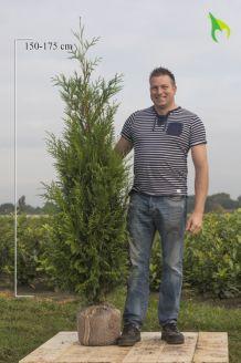 Lebensbaum 'Atrovirens' Wurzelballen 175-200 cm Extra Qualtität Wurzelballen