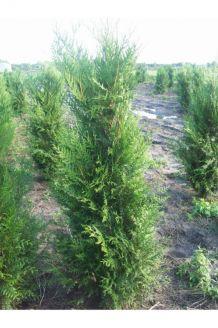 Lebensbaum 'Atrovirens' Wurzelballen 200-225 cm Extra Qualtität Wurzelballen