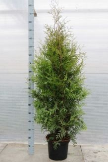 Lebensbaum 'Brabant' (125-150 cm) Extra Qualtität Topf