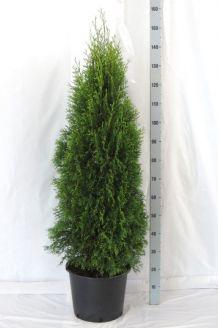 Lebensbaum 'Smaragd' Topf 125-150 cm Topf