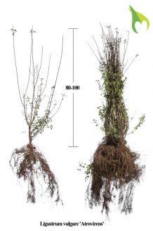 Wintergrüner Liguster 'Atrovirens' (80-100 cm) Wurzelware