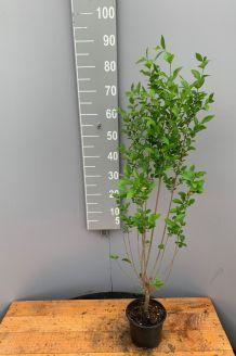 Ovalblättriger Liguster (60-80 cm) Topf