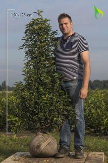 Portugiesischer Kirschlorbeer Wurzelballen 150-175 cm Extra Qualtität Wurzelballen