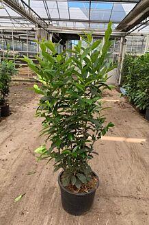 Kirschlorbeer 'Genolia' Topf 125-150 cm Topf