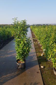 Kirschlorbeer 'Genolia' Topf 150-175 cm Topf