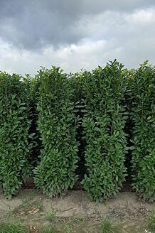 Kirschlorbeer 'Genolia' Wurzelballen 225-250 cm Wurzelballen