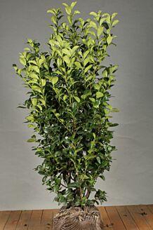 Kirschlorbeer 'Ani' Wurzelballen 125-150 cm Extra Qualtität Wurzelballen