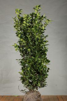 Kirschlorbeer 'Ani' Wurzelballen 150 -175 cm Extra Qualtität Wurzelballen