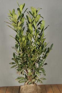 Kirschlorbeer 'Caucasica' (100-125 cm) Extra Qualtität Wurzelballen