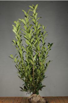 Kirschlorbeer 'Caucasica' (175-200 cm) Wurzelballen