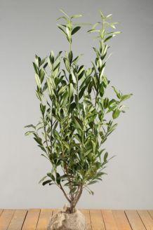Kirschlorbeer 'Caucasica' (80-100 cm) Wurzelballen