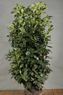 Kirschlorbeer 'Etna' Wurzelballen 125-150 cm Wurzelballen