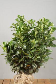 Kirschlorbeer 'Etna' Wurzelballen 60-80 cm Wurzelballen