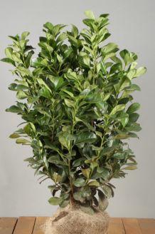 Kirschlorbeer 'Etna' Wurzelballen 80-100 cm Extra Qualtität Wurzelballen