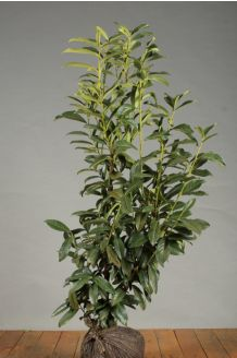 Kirschlorbeer 'Genolia' Wurzelballen 100-125 cm Wurzelballen