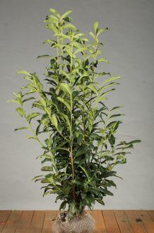 Kirschlorbeer 'Genolia' Wurzelballen 125-150 cm Extra Qualtität Wurzelballen