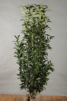 Kirschlorbeer 'Genolia' Wurzelballen 175-200 cm Extra Qualtität Wurzelballen