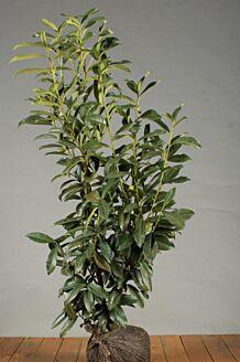 Kirschlorbeer 'Genolia' Wurzelballen 80-100 cm Wurzelballen