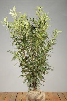 Kirschlorbeer 'Caucasica' (125-150 cm) Extra Qualtität Wurzelballen