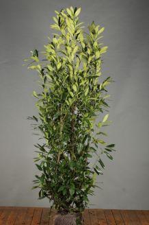 Kirschlorbeer 'Herbergii' Wurzelballen 175-200 cm Wurzelballen