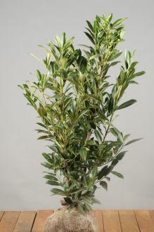 Kirschlorbeer 'Herbergii' Wurzelballen 80-100 cm Wurzelballen