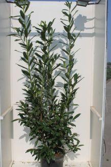 Kirschlorbeer 'Caucasica' (150-175 cm) Extra Qualtität Topf