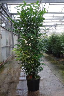 Kirschlorbeer 'Genolia' Topf 175-200 cm Topf