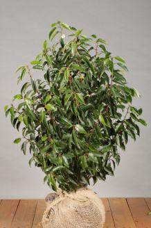 Portugiesischer Kirschlorbeer Wurzelballen 80-100 cm Extra Qualtität Wurzelballen