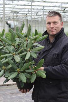 Rhododendron Roseum (40-50 cm) Topf
