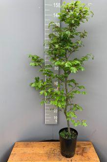 Rotbuche Topf 125-150 cm Topf