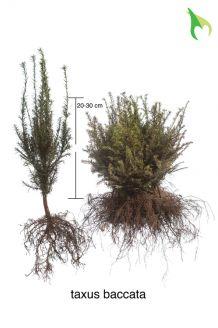 Gemeine Eibe (20-30 cm) Wurzelware
