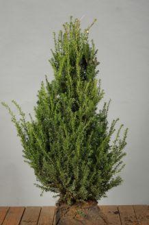 Eibe (60-80 cm) Extra Qualtität Wurzelballen