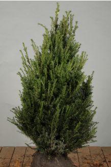 Eibe (80-100 cm) Extra Qualtität Wurzelballen