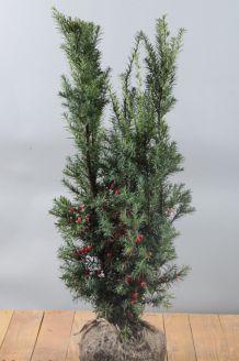 Becher-Eibe 'Hicksii' Wurzelballen 60-80 cm Wurzelballen
