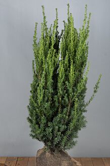 Becher-Eibe 'Hilli' Wurzelballen 100-125 cm Extra Qualtität Wurzelballen