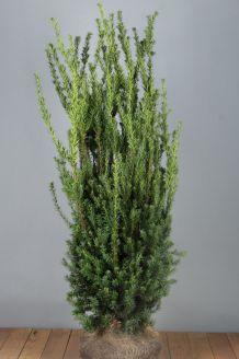 Becher-Eibe 'Hilli' Wurzelballen 125-150 cm Extra Qualtität Wurzelballen