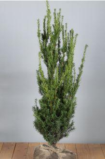 Becher-Eibe 'Hilli' Wurzelballen 60-80 cm Wurzelballen