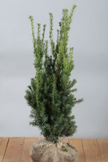Becher-Eibe 'Hilli' Wurzelballen 80-100 cm Wurzelballen