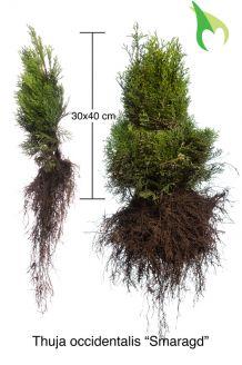 Lebensbaum 'Smaragd' Wurzelware 30-40 cm Wurzelware