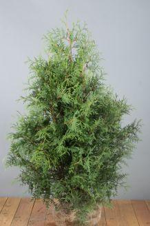 Lebensbaum 'Brabant' (100-125 cm) Extra Qualtität Wurzelballen