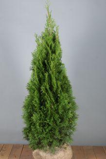 Lebensbaum 'Smaragd' Wurzelballen 100-125 cm Extra Qualtität Wurzelballen