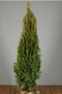Lebensbaum 'Smaragd' Wurzelballen 125-150 cm Extra Qualtität Wurzelballen