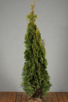 Lebensbaum 'Smaragd' Wurzelballen 150-175 cm Extra Qualtität Wurzelballen