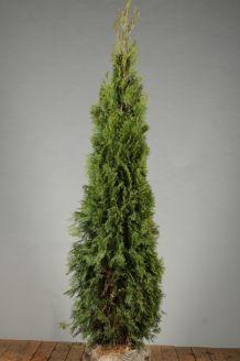 Lebensbaum 'Smaragd' Wurzelballen 175-200 cm Extra Qualtität Wurzelballen