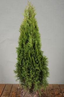 Lebensbaum 'Smaragd' Wurzelballen 60-80 cm Wurzelballen