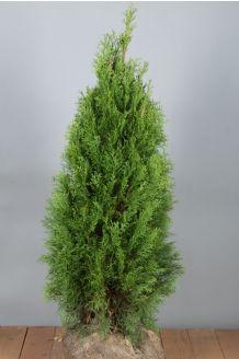 Lebensbaum 'Smaragd' Wurzelballen 80-100 cm Extra Qualtität Wurzelballen