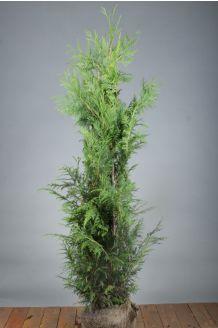 Lebensbaum 'Excelsa' Wurzelballen 125-150 cm Wurzelballen