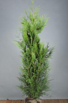 Lebensbaum 'Excelsa' Wurzelballen 150-175 cm Wurzelballen